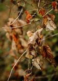 Even Nature Fades. Closeup shot of a bunch of leaves on a hanging branch turning brown and drying up during fall in anticipation of winter Stock Image
