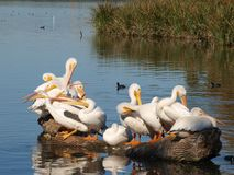 Even Pelicans Can Go For The Neck. Watching American White Pelicans is amusing and comical. They have an intense pecking order. There were fourteen on this log royalty free stock photo