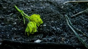 Even plants can be lonely. Found this little bloom lying on the ground Stock Photography