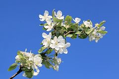A beautiful branch of a blossoming apple tree against a blue sky on a bright sunny day stock image