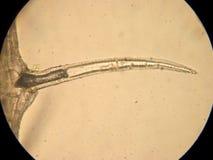 Even unicellular - optical microscopy royalty free stock photos