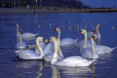 Evening beach swans Stock Images