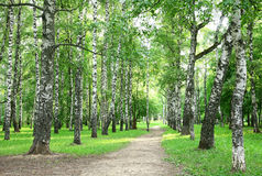Evening birch park Royalty Free Stock Images