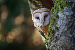 Evening with bird. Barn owl sitting on tree trunk at the evening with nice light near the nest hole. Wildlife scene from nature. A Royalty Free Stock Photo