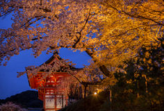 Evening. Blooming cherry in Kyoto. Stock Image