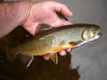 Evening Brook Trout royalty free stock image