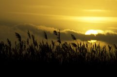 Evening Cane. Waving cane in front of a beautiful sunset stock images