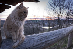 Evening cat. A cat at sunset, a good combination of genres royalty free stock image