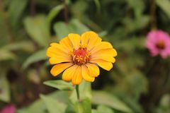 Unique color of Zinnia flower in the Himalayas mountain. An evening in the country of Punjab with sun setting, trees, fields and shrubs Stock Photo