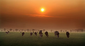 Evening cows in Holland. Cows grazing in the evening Royalty Free Stock Photo