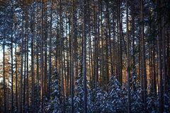Evening in the dark forest, Christmas. Sun rays in the dark. New year, covered in snow. Spruce trees pine trees covered with snow.  Stock Photos