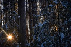Evening in the dark forest, Christmas. Sun rays in the dark. New year, covered in snow. Spruce trees pine trees covered with snow.  Royalty Free Stock Image
