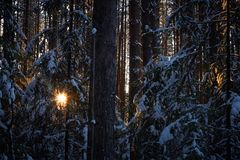 Evening in the dark forest, Christmas. Sun rays in the dark. New year, covered in snow. Spruce trees pine trees covered with snow.  Royalty Free Stock Photos
