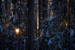 Evening in the dark forest, Christmas. Sun rays in the dark. New year, covered in snow. Spruce trees pine trees covered with snow.  Stock Photo