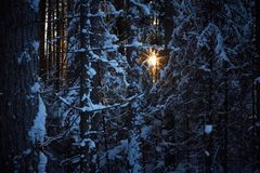 Evening in the dark forest, Christmas. Sun rays in the dark. New year, covered in snow. Spruce trees pine trees covered with snow.  Royalty Free Stock Images