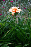 Evening day lily in salmon color. Flower of a day lily of salmon color on long runaway in a flower bed at evening illumination royalty free stock photography