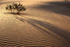 Evening in desert. Green plant in the sandy desert. Taken in desert Negev, Israel Stock Photography