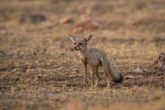 A bold indian fox pup Vulpes bengalensis stock image