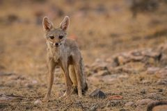 A bold indian fox pup Vulpes bengalensis stock photos