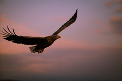 Evening eagle. A white tailed eagle soars at sunset Stock Photography