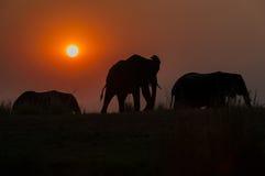 Evening Elephants Royalty Free Stock Image
