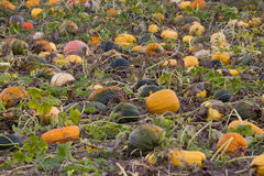 Evening field ripe pumpkins in autumn. Color Stock Image