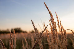 Evening in fields Royalty Free Stock Image