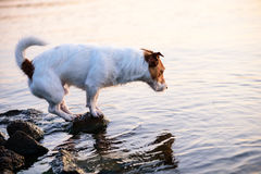 Evening fishing. Jack Russell Terrier on a stone looking into water Royalty Free Stock Photography