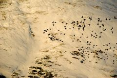 The evening flight. Of duck flocks in the background of the setting sun illuminated the snow-covered mountains Stock Image