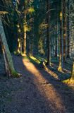 Evening forest. Evening light in a forest Royalty Free Stock Images