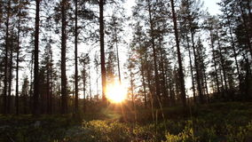 Evening forest stock footage