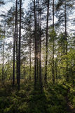 Evening at a forest in the summer. Evening at a lush and verdant forest in Finland in the summertime Stock Photos