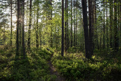 Evening at a forest in the summer. Evening at a lush and verdant forest in Finland in the summertime Royalty Free Stock Photos