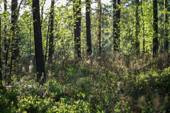 Evening at a forest in the summer. Evening at a lush and verdant forest in Finland in the summertime. Shallow depth of field Stock Photography