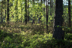 Evening at a forest in the summer. Evening at a lush and verdant forest in Finland in the summertime. Shallow depth of field Royalty Free Stock Photo