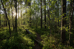 Evening at a forest in the summer. Path, tree trunk, trees and sunshine at a lush and verdant forest in Finland in the summertime in the evening Royalty Free Stock Image
