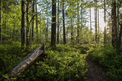 Evening at a forest in the summer. Path, tree trunk, trees and sunshine at a lush and verdant forest in Finland in the summertime in the evening Royalty Free Stock Photography