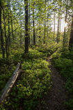 Evening at a forest in the summer. Path, tree trunk, trees and sunshine at a lush and verdant forest in Finland in the summertime in the evening Stock Image