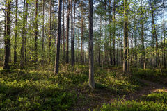 Evening in a forest in the summer. Path and trees in a lush and verdant forest in the evening in Finland in the summertime Royalty Free Stock Photos