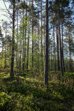 Evening in a forest in the summer. Trees and plants in a lush and verdant forest in the evening in Finland in the summertime Royalty Free Stock Images