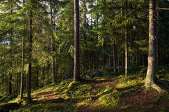 Evening at a forest in summertime Royalty Free Stock Photography
