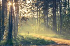 Evening Forest With Sun And Light Stock Photo