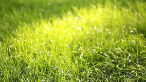 Evening grass with dew in summer park stock video