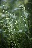 Evening grass flowering Royalty Free Stock Images