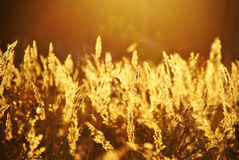 Evening Grass. One of my favourite subjects is evening sunlight through grass Stock Photography