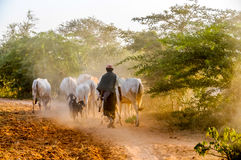 Evening grazing herds Stock Photography