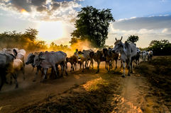 Evening grazing herds Stock Image