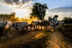 Evening grazing herds Stock Image