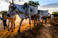 Evening grazing herds Royalty Free Stock Images
