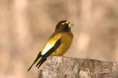 Evening grosbeak Royalty Free Stock Photos